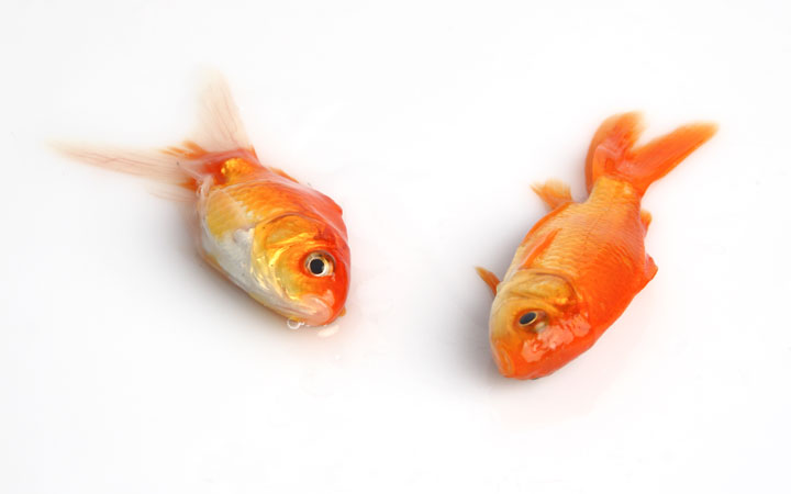 Why Did Goldfish Die Overnight?