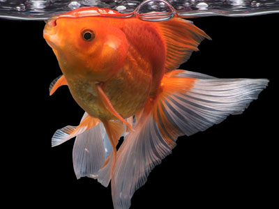Goldfish Feeding Schedule
