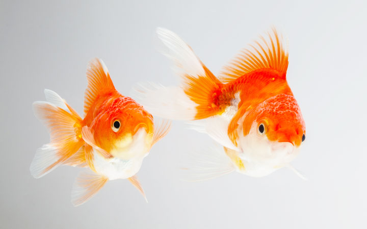 Are Goldfish Fin Nippers?