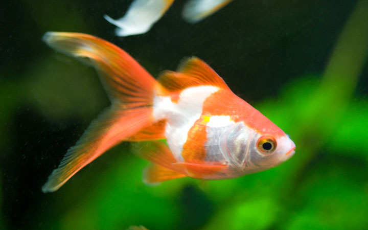 Do Goldfish Need Air Pump?