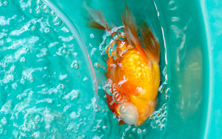 Why is My Goldfish Swimming Upside Down?