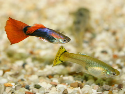 How do Guppies Breed?
