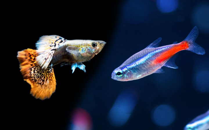 Guppies and Neon Tetras Can Live Together?