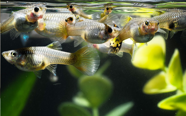 Are Guppies Schooling Fish?