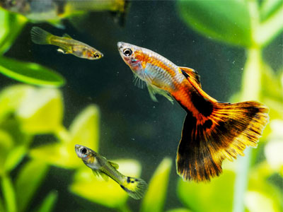 Water Parameters for Guppies