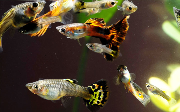 Best Guppy Male to Female Ratio