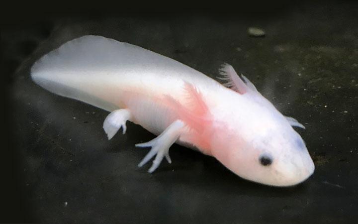 Juvenile Axolotl
