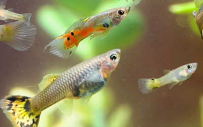 How Do You Keep Guppies Healthy?