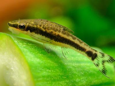Otocinclus Fish