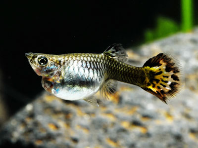Caring for a Pregnant Guppy Fish
