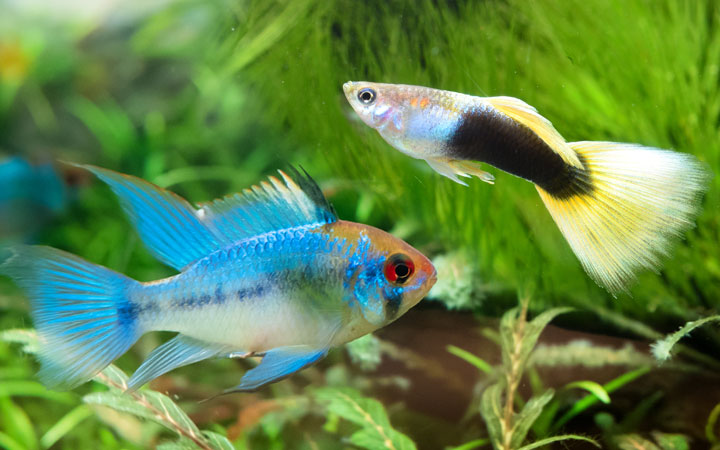Ram Cichlids and Guppies – Can You Keep Them Together?