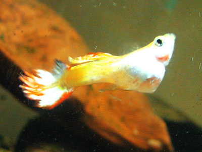 Caring for Sick Guppies