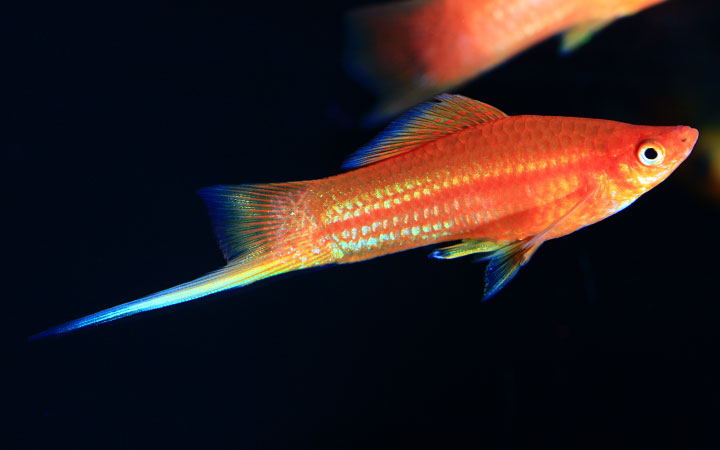 Swordtail Fish Water Temperature