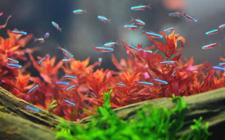 26 Most Popular Tetra Fish Types