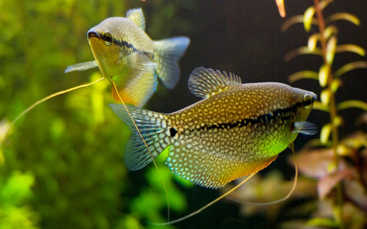 Breeding Gouramis in Aquarium