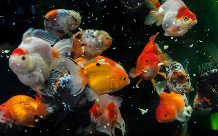How to Feed Your Goldfish? How Often & How Much?