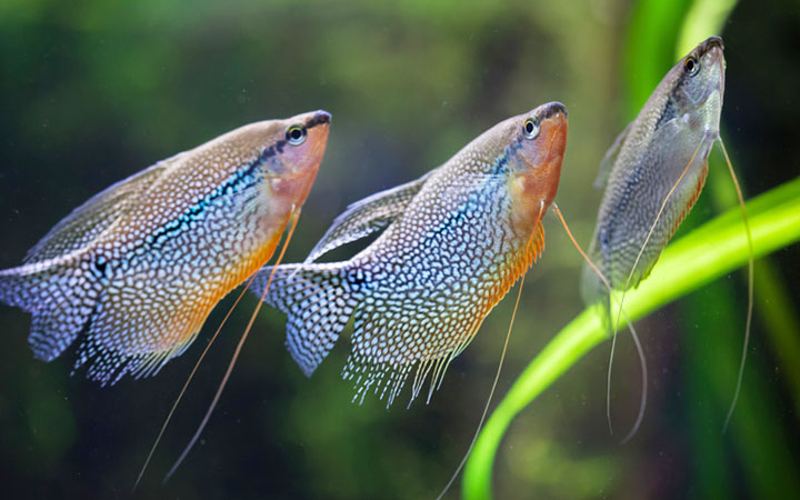 Feeding Gourami Fish