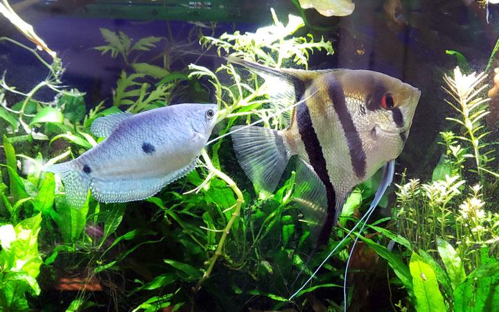 Gourami Fish Tank Mates