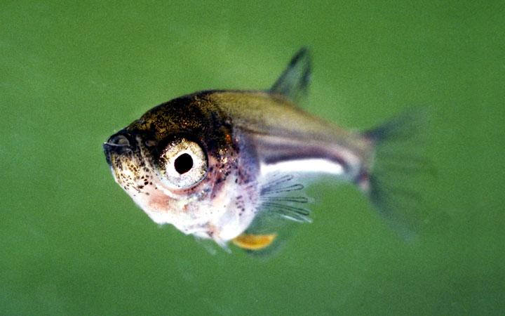 Gourami Fish Fry