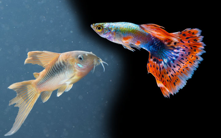 Guppies and Corydoras – Can You Keep them Together?