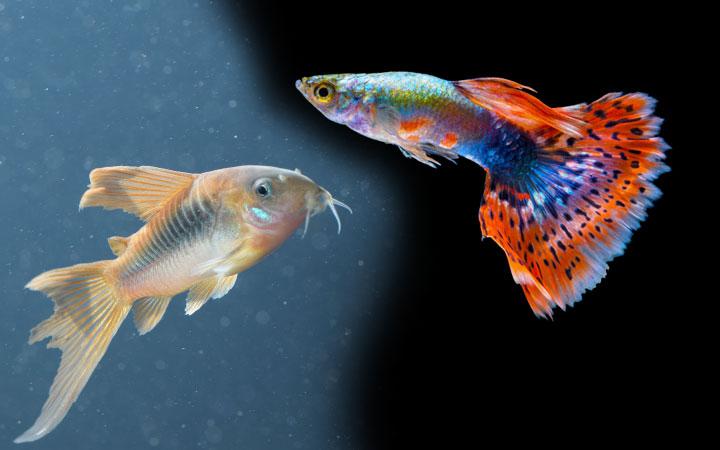 Guppy Fish and Corydora Catfish