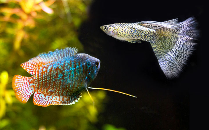 Guppies and Dwarf Gourami – Can You Keep them Together?
