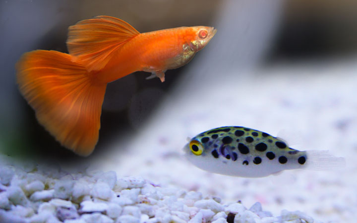 Guppy Fish and Pea Puffer – Can You Keep Them Together?