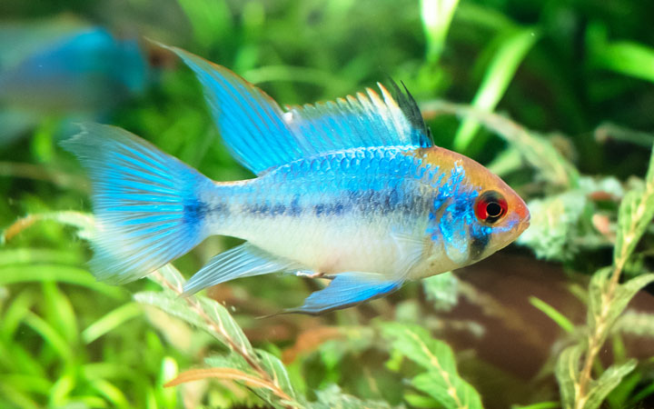 Ram Cichlids – Care, Tank Mates, Feeding, Breeding & More