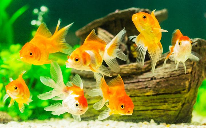 How to Setup a New Goldfish Tank?
