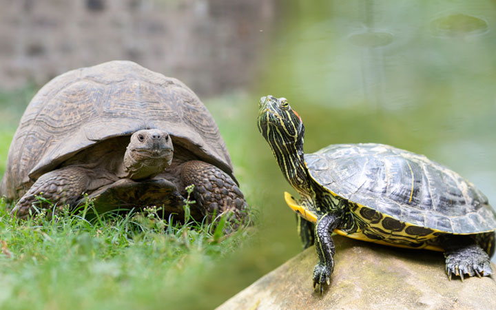 Tortoise vs Aquatic Turtles – What is the Difference?