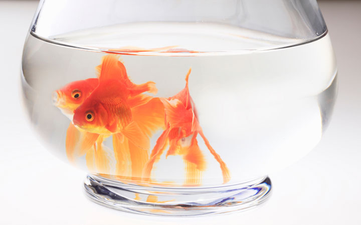Can You Keep Goldfish in a Fishbowl?