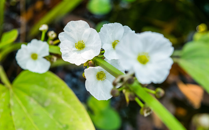 Does Amazon Sword Produce Flowers?