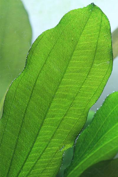 Amazon Sword Leaf