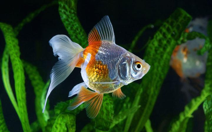 Best Aquarium Plants for Goldfish