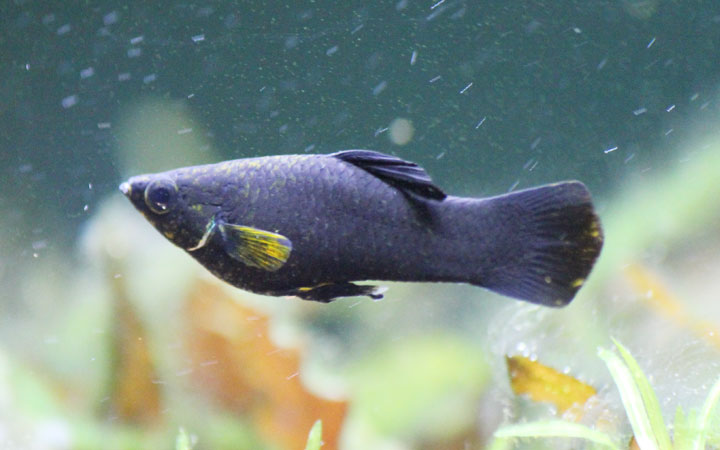Black Molly Fish