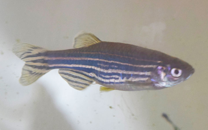 Is My Female Zebra Danio Pregnant?