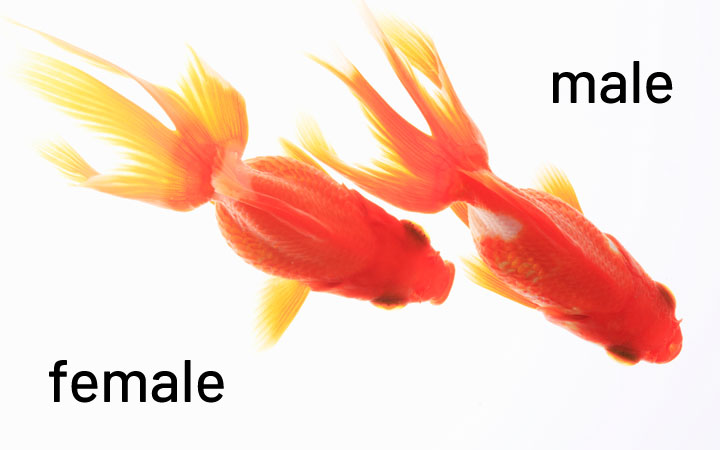 Differences Between Male and Female Goldfish