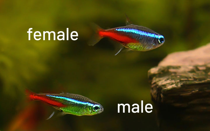 Male vs Female Neon Tetra