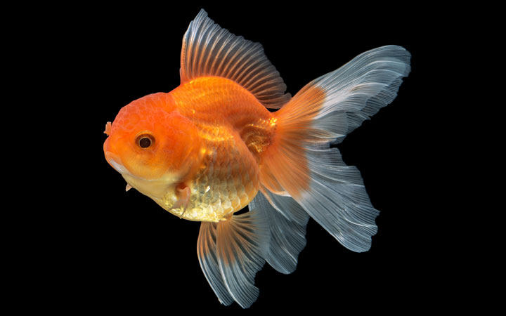 Pregnant Goldfish – Is Your Fish Going to Lay Eggs?