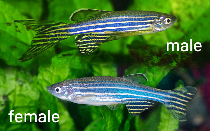 Zebra Danio Male vs Female