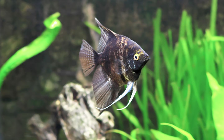 Can Angelfish Survive Without a Filter?