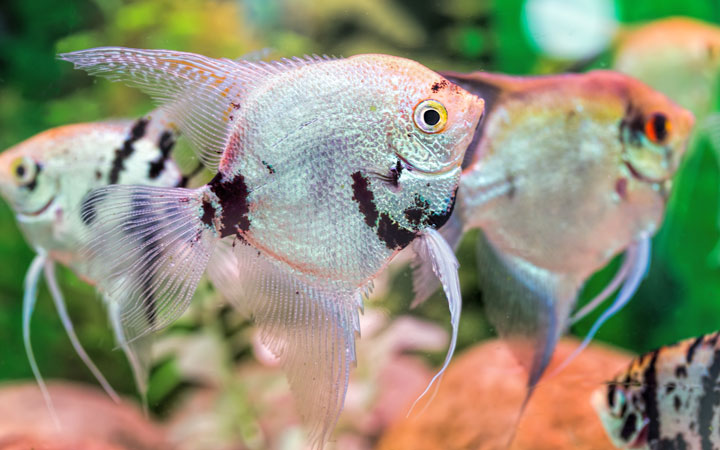 10 Best Angelfish Tank Mates