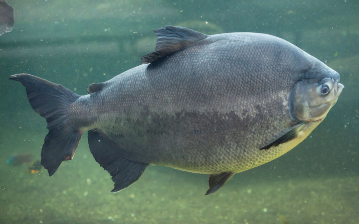 Pacu Fish – Habitat, Care, Feeding, Tank Size, Breeding