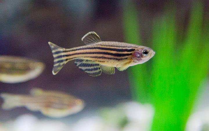 10 Best Zebra Danio (Zebrafish) Tank Mates