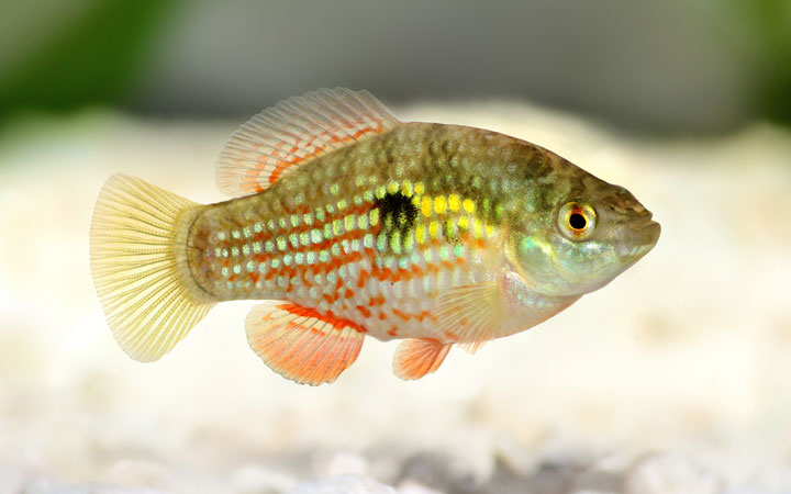 American Flagfish – Habitat, Care, Feeding, Tank Size, Breeding