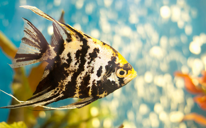 Do Angelfish Need An Air Pump & Bubbles?