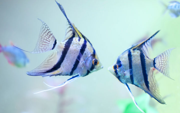 Best Tank Size for Angelfish