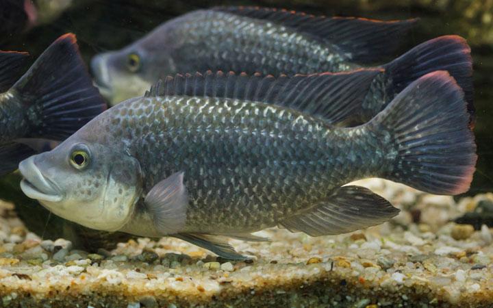 Angolan Tilapia– Habitat, Care, Feeding, Tank Size, Breeding