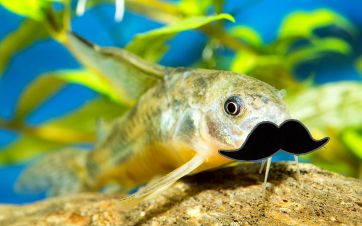 "10 Cool Aquarium Fish with ""Mustache"""