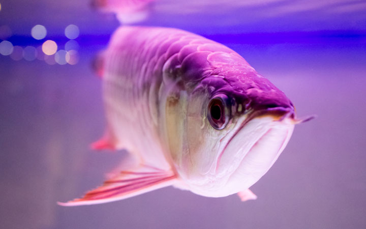 Are Arowana Fish Aggressive?